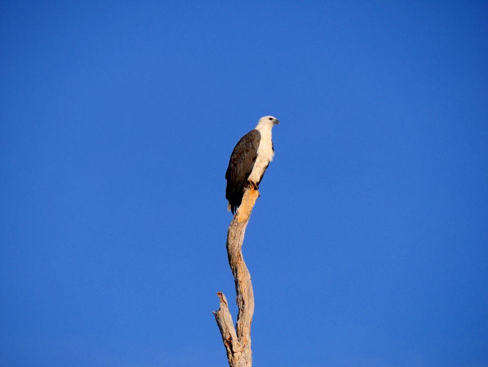Seeadler, Cooinda