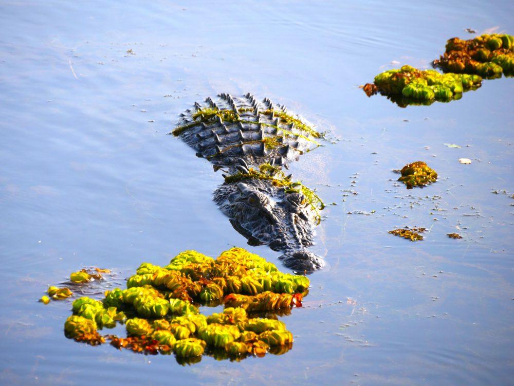 Crocodile, Cooinda