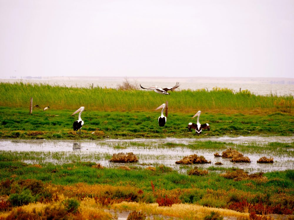 Pelikane, Lake Alexandrina