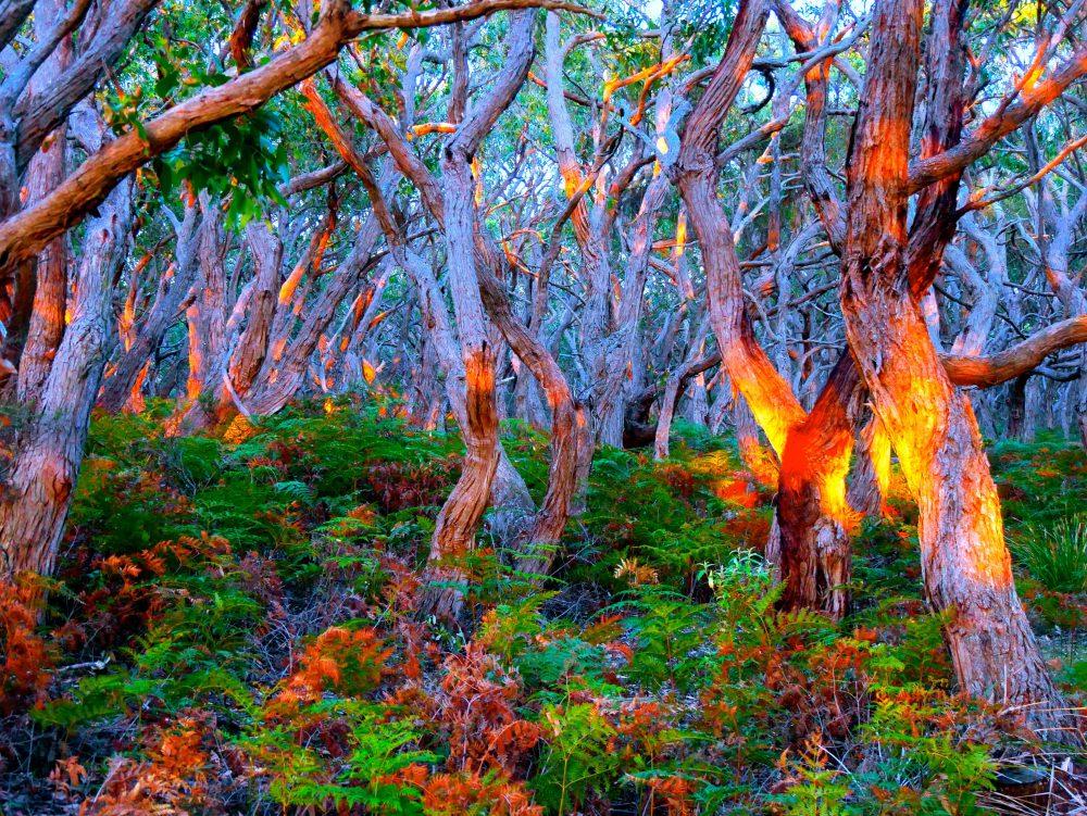Glühender Wald, Cape Otway, Victoria