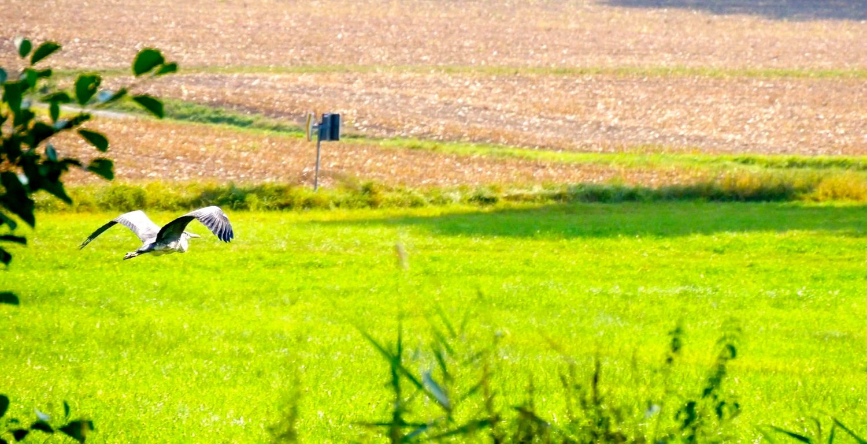 Graureiher im Landeanflug