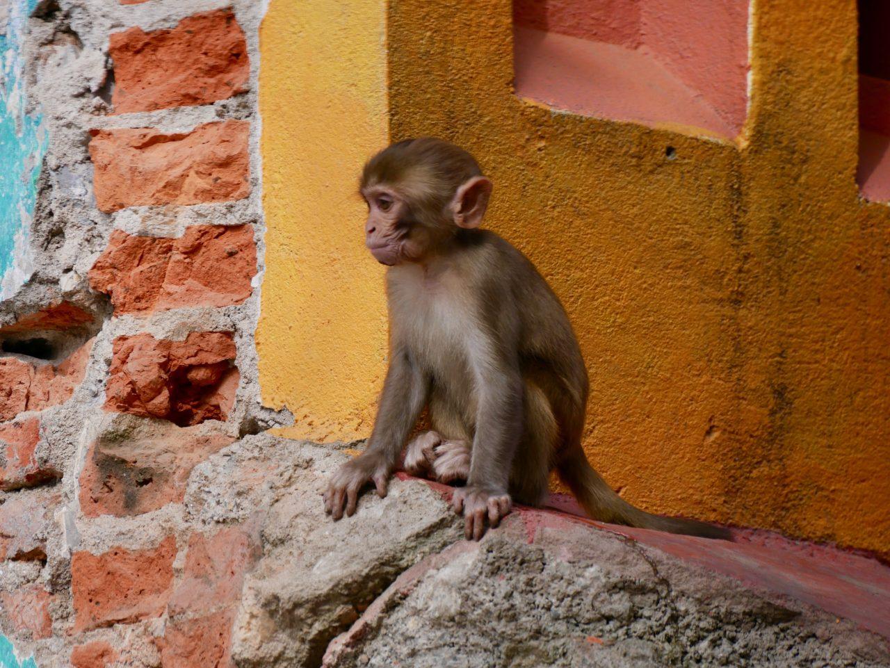 Makaken Baby am Swayambunath, Kathmandu, Nepal