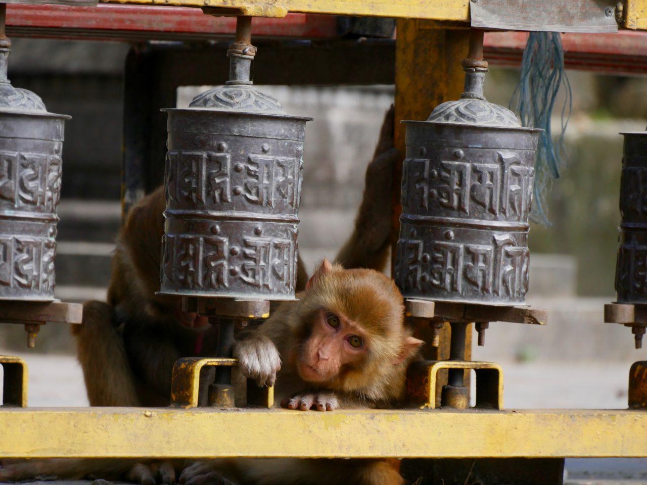 Makake zwischen Gebetstrommeln, Swayambunath, Kathmandu, Nepal