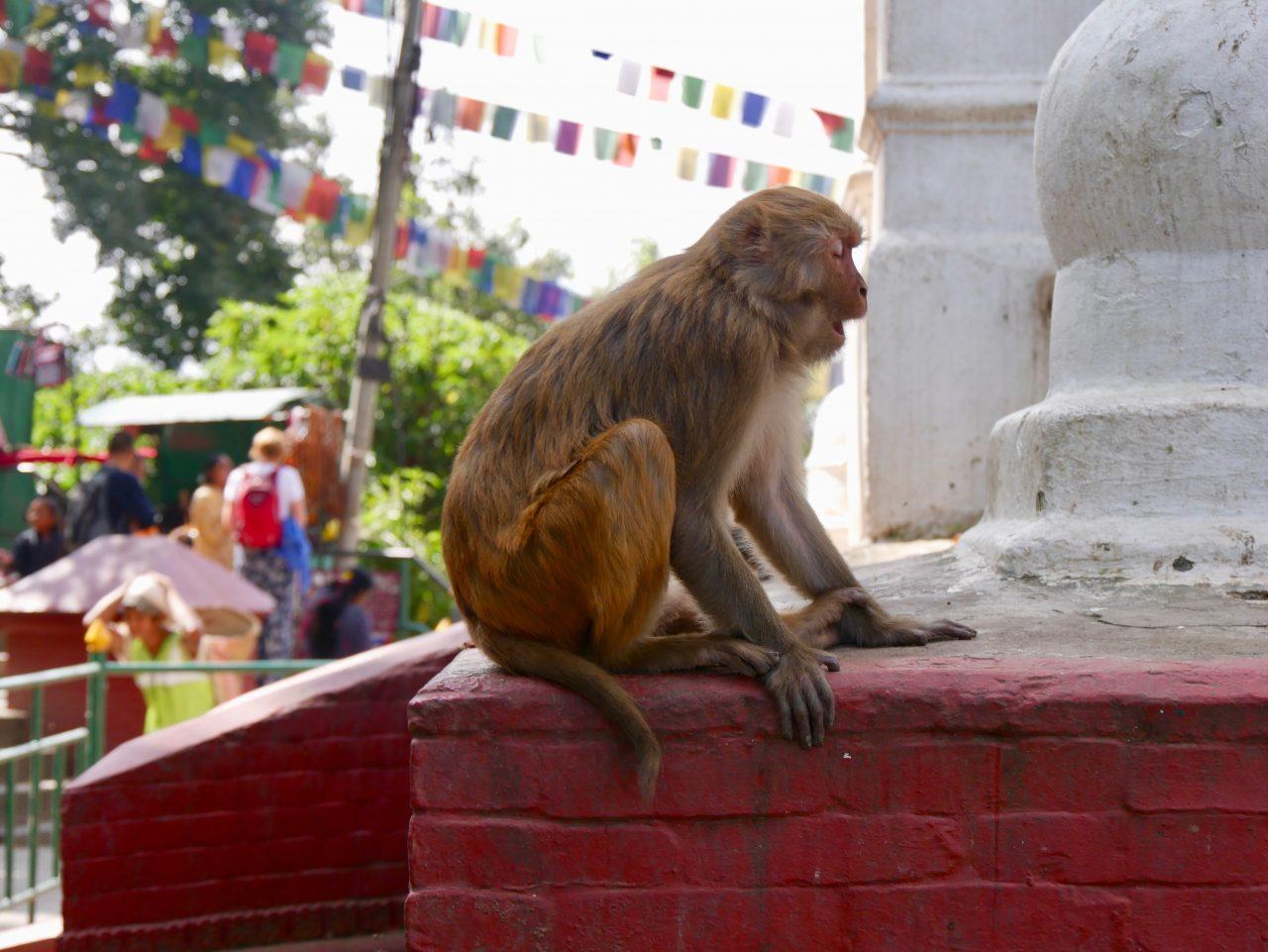 Makake, Swayambunath, Kathmandu, Nepal